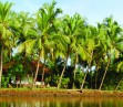 coconut farms